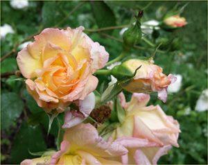 rose-seasons